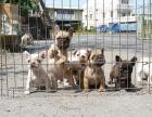 哪里有卖纯种双血统法国斗牛犬纯种的长什么样子
