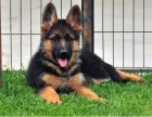 您买的不仅是狗狗 更是一份品质一份放心 纯种德牧