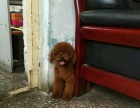 泰迪幼犬红色黑色咖啡色灰色都有都有包教包会饲养无压