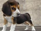 品质第一 纯种比格幼犬 终身质保 签活体协议