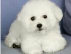高品质精品卷毛比熊 幼犬狗狗 包纯种健康 宠物狗
