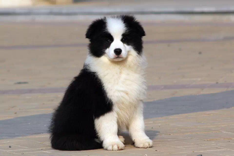 出售纯种边境牧羊犬幼犬 疫苗三针做齐品相完美签订协