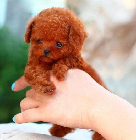 纯种泰迪犬 玩具泰迪犬 茶杯泰迪犬 灰色泰迪幼犬图片