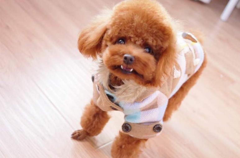 出售纯种 黑色泰迪 棕色泰迪 白色泰迪犬
