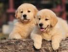 明星买狗首选犬舍有图有真相大头金毛幼犬不低价骗人