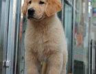 狗场出售纯种美系 枫叶系大头金毛宝宝 签订协议