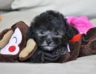 自家大狗生了一窝泰迪幼犬 寻好心人领养 真实拍照
