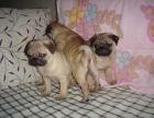 出售纯种巴哥幼犬 狗狗品相好 健康保证 质量保证